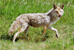 狼为什么吃羊?关于草原狼的故事,竟然和成吉思汗有关