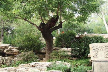 吊死崇祯皇帝的那棵树如今怎么样了?