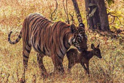 斗子文:小时候被老虎喂乳,长大后成为春秋名相
