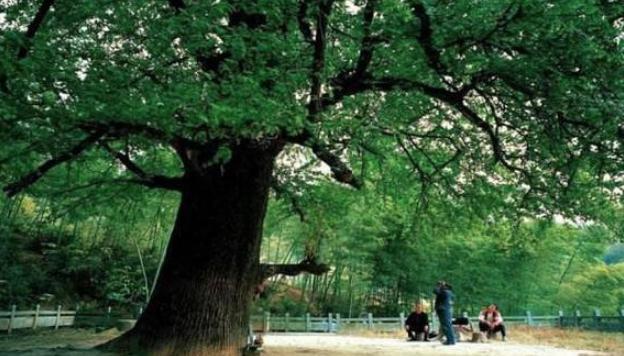 光绪父亲墓前种了两颗白果树,背后有什么含义?