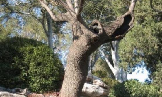 吊死崇祯皇帝的那棵槐树,为何要用铁链拴住?