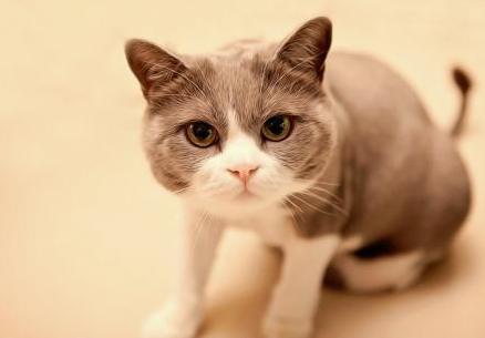十二生肖中为什么没有猫呢 单单时间就差了千年之久